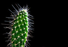 The closeup green cactus isolated on the black Royalty Free Stock Photo
