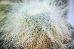 Closeup green cactus with white woolly on background, long hair stock photos