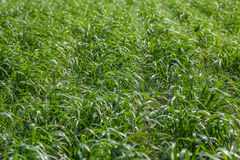 Closeup green cereal field at the springtime Royalty Free Stock Image