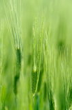Closeup of green cereal field Royalty Free Stock Photo