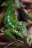 Closeup on a green chameleon with focus on his eye Royalty Free Stock Images