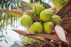 Closeup of green coconuts on the coconut tree Royalty Free Stock Image