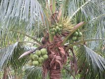 Green coconuts on a palm tree in Thailand, asia. Closeup of a green coconuts on a palm tree in Thailand, asia Stock Photography