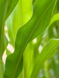 Closeup of a green corn field Stock Photos