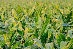Closeup of green corn leaves in field. Royalty Free Stock Photo