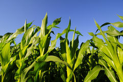 Closeup of green corn plants with blue sky in the background Stock Image
