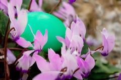 Closeup on green egg in cyclamen bush Stock Image
