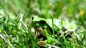 Green European Tree Frog. Closeup of the Green European Tree Frog Hyla arborea Sitting in Grass stock video footage