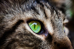 Closeup green eye of Maine Coon black tabby cat . Royalty Free Stock Photography