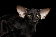 Closeup Green Eyed Oriental Kitten With Big Ears, Black  Royalty Free Stock Photos