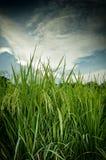 Closeup of green farm rice Stock Photo