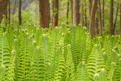 Closeup of a Green Fern Stock Image