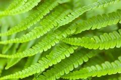 Closeup of green fern fronds Royalty Free Stock Photos