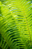Closeup green fern leaf Royalty Free Stock Photography