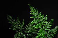 Closeup of green fern leaf isolated on black background royalty free stock photos