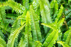 Closeup green fern leaf Stock Photos