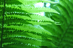 Closeup of Green Fern. Green fern shot from low angle.  Soft focus with abstract touch.  Copy space in right part of horizontal image Stock Photos