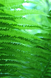 Closeup of Green Fern. Green fern shot from low angle.  Soft focus with abstract touch.  Vertical image Stock Photos