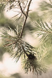 Closeup of green fir tree or pine branches Royalty Free Stock Photos