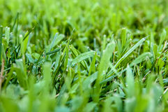 Closeup green fresh Cut grass shallow depth of field, selective focus, macro shot.  Royalty Free Stock Photos