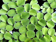 Closeup green fresh duckweed covered on the water (Selective focus) Royalty Free Stock Photography