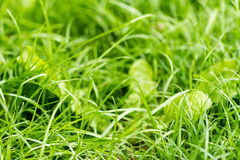 Closeup of green fresh grass Royalty Free Stock Photography