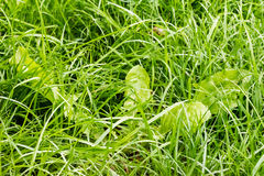 Closeup of green fresh grass Royalty Free Stock Photos