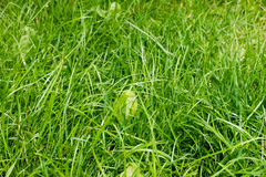 Closeup of green fresh grass Royalty Free Stock Photo
