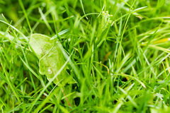 Closeup of green fresh grass Stock Images