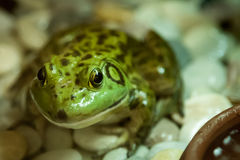 Closeup of a green frog. Stock Photography