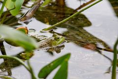 Closeup of a green frog swimming in the water near plants. A closeup of a green frog swimming in the water near plants stock photography