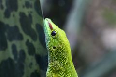 Madagascar day gecko. Closeup of this green gecko Royalty Free Stock Images