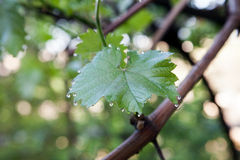Closeup of the green grape leaf with morning dew Stock Photography