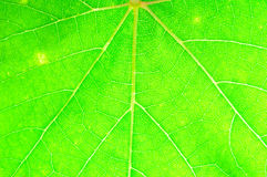 Closeup of green grape leaf texture. Stock Photo