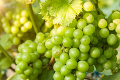 Closeup of green grapes in a vineyard Stock Photography