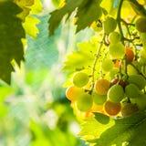 Closeup of green grapes in a vineyard Stock Photos