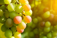 Closeup of green grapes in a vineyard Stock Images