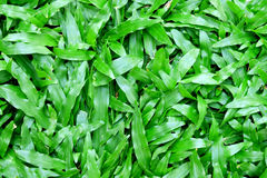 Closeup green grass Royalty Free Stock Photos