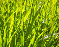 Closeup  of green grass Royalty Free Stock Photo