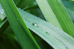 Closeup green grass leafs with drops Stock Photo