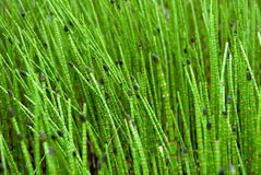 Closeup on Green Grass Sticks in Wetlands Stock Photography