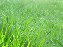 Closeup of green grass on a sunny day with green background Royalty Free Stock Image