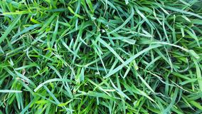 Closeup of green grass with weeds Stock Photography