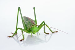 Closeup of green grasshopper Stock Image