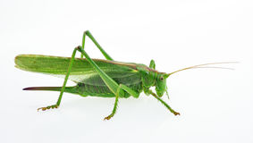 Closeup of green grasshopper Royalty Free Stock Photos