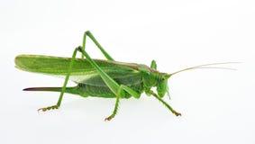 Closeup of green grasshopper royalty free stock photos