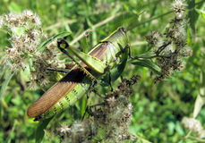 Closeup of green grasshopper. A closeup view of a wild, green grasshopper found in a bush in an outdoor park. Order: Orthoptera stock photography