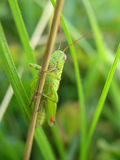 Closeup of green grasshopper Royalty Free Stock Images