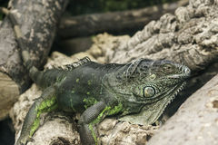 Closeup of green iguana Royalty Free Stock Images
