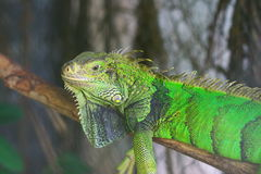 Closeup of green iguana Royalty Free Stock Photography